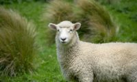 Die Kunst des Leitens IX: Verlorenes Schaf oder trotziger Bock?